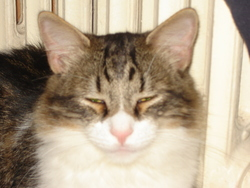 Eliote, chat Européen