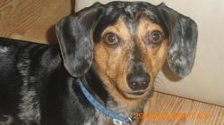 Spunky, chien Teckel