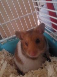 Biscote, rongeur Hamster