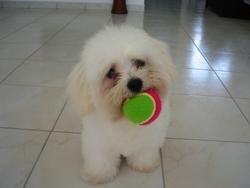 Piaf, chien Coton de Tuléar