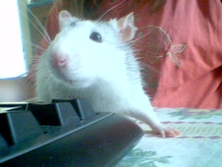Whisky , rongeur Rat