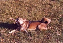 Adji, chien Shiba Inu