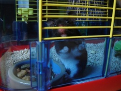 Fidel Castro, rongeur Hamster