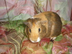 Cannelle, rongeur Cochon d'Inde