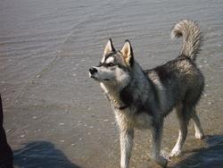 Gaiak, chien Husky sibérien