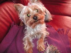 Twinie, chien Yorkshire Terrier