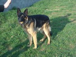 Fuego, chien Berger allemand