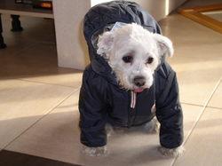 Rémi, chien Bichon havanais