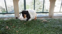 Aslan, rongeur Cochon d'Inde