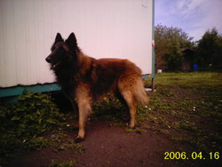 Daymon, chien Berger belge