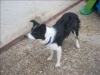 Cookie, chien Border Collie