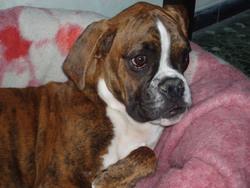 Elton, chien Boxer