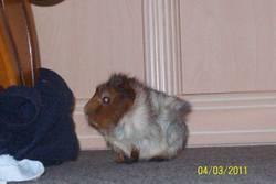 Speedy, rongeur Cochon d'Inde