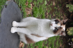Tite-Folle, chat American Wirehair