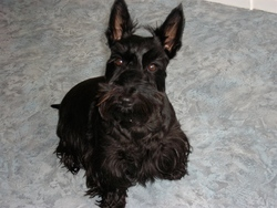 Candy, chien Scottish Terrier