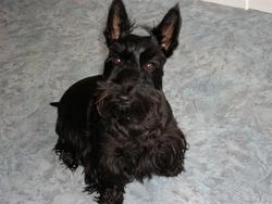 Candy, chien Scottish Terrier