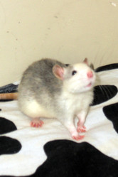 Poochie, rongeur Rat