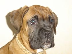 Félia, chien Boxer