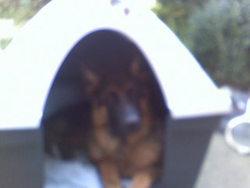Jeck, chien Berger allemand