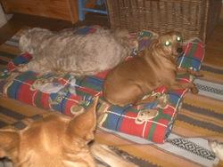 Zoe, chien Pinscher