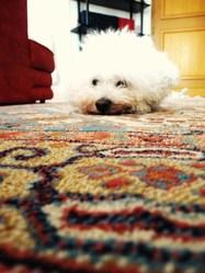 Junior, chien Bichon à poil frisé