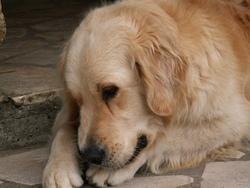 Donuts, chien Golden Retriever