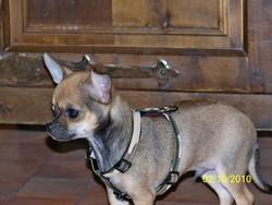Fenix, chien Chihuahua