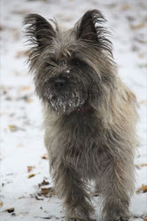 Extra, chien Cairn Terrier
