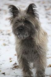 Extra, chien Cairn Terrier