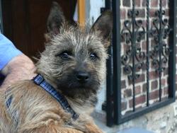 Fergus-Feelgood, chien Cairn Terrier