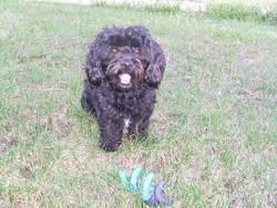 Dixie, chien Caniche