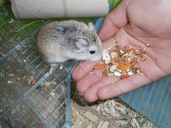 Caramel, rongeur Hamster