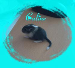 Caline, rongeur Gerbille