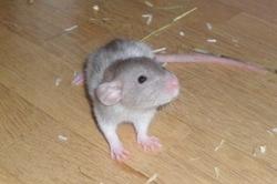 Nesquik, rongeur Rat