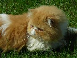 Verlaine, chat Persan