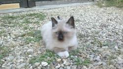 Guizmot Des Gones Etoiles, chat Birman