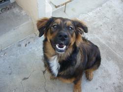 Cheyenne, chien Bouvier bernois