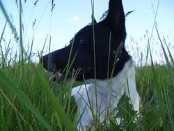 Oréo, chien Jack Russell Terrier