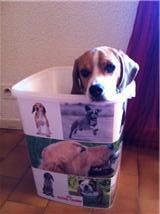 Flasch, chien Beagle