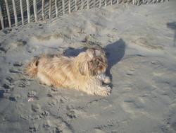 Suzy, chien Lhassa Apso