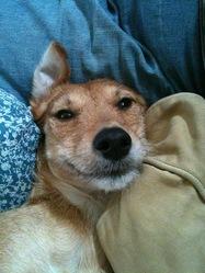 Lili, chien Podenco ibicenco