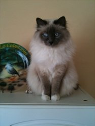Célia, chat Birman