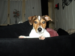 Flacky, chien Jack Russell Terrier