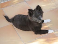Goupie, chien Spitz allemand