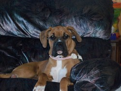 Maya, chien Boxer