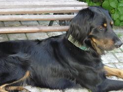 Balou, chien Setter Gordon