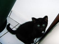 Archimède, chat Européen