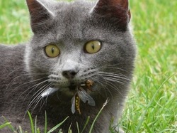 Guisouille, chat Chartreux