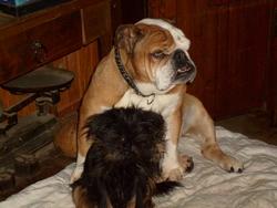 Patchouli, chien Bulldog