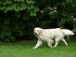 Casper, chien Golden Retriever